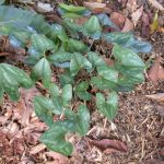 Wild ginger (Hexastylis arifolia)_Tom Harville_NC Native Plant Society_Oct 2005
