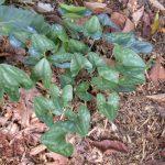 Wild ginger (Hexastylis arifolia)_Tom Harville_NC Native Plant Society_Oct 2005