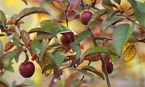 Plums-Caligula1995-Generic-cc-by-2.0