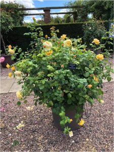 'Charles Darwin', a David Austin shrub rose