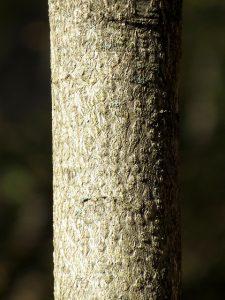 Ailanthus Bark