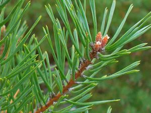 Scotch PIne three needle bundle